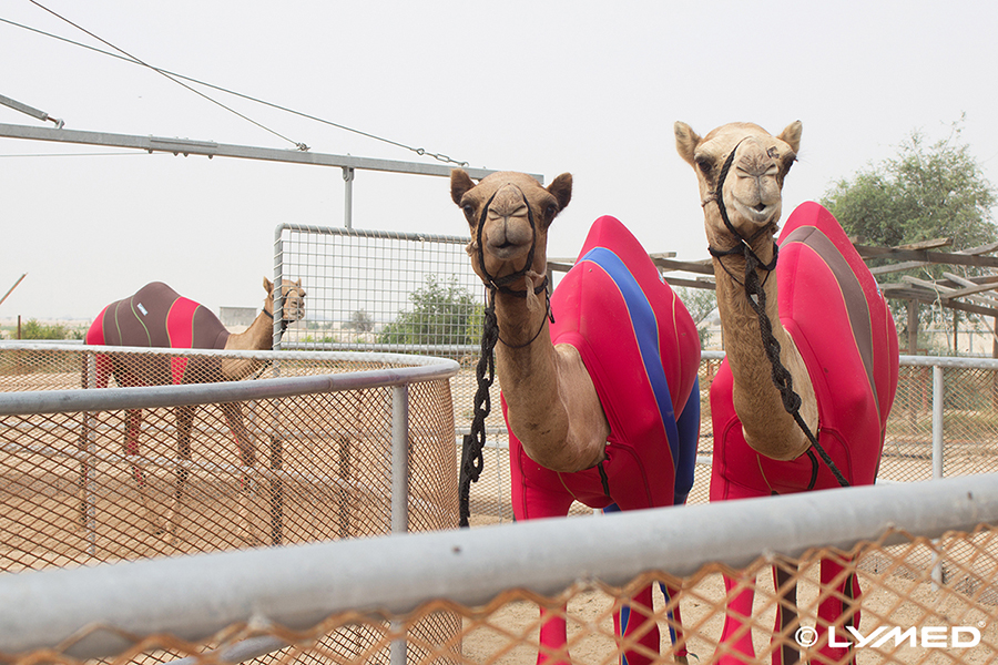 lymed_camel_5