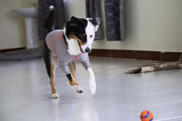 Maija Hietanen, koirakouluttaja. Koira: Yoko, 6v-australianpaimenkoiranarttu, jolla Lymed Dog -painevaatteet käytössä kesästä 2015 asti